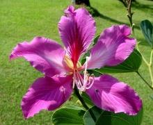 ชงโค (Orchid tree)