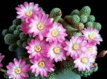 ดอกกระบองเพชร