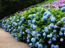 สวนดอก Hydrangea