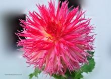 วอลเปเปอร์ Dahlia หรือดอกรักเร่