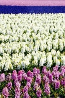 Tulip Way..!!