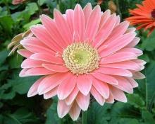 ดอก Gerbera