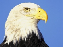 The Eagle หรือ นกอินทรี