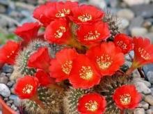 ตะบองเพชร ( Cactus )