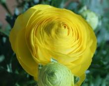 ดอกรานังคูลัส (Ranunculus) Vol.2