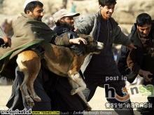 คนรักสัตว์ไม่ปลื้ม...กีฬาสุดโหดในอัฟกานืสถาน