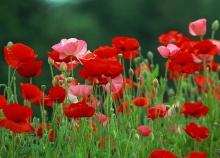 ทุ่งดอก poppy  .•°•.° (o^.^o)