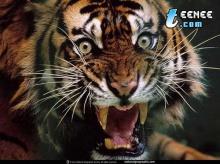 ลีลา สุด ๆ ของเสือ