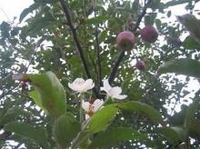 เคยเห็นกันไหมต้นแอปเปิ้ล (2)