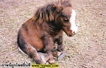 ~ ม้าแคระ ~