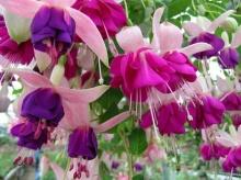ดอก(โคม)ญี่ปุ่น สวยมาก