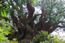ต้นไม้มหัศจรรย์ที่อินเดีย (ธรรมชาติหรือฝีมือคน)