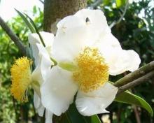 ดอกบุนนาค ดอกไม้ไทยห๊อม หอม