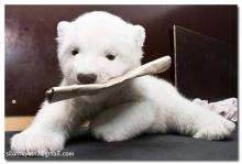 หมีขั่วโลก(ความน่ารักที่แฝงไปด้วยความน่ากลัว)