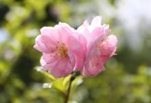 ดอกไม้สีชมพูหวาน จากสวนสาธารณะ