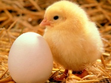 Lovely  chick and duckling •:*´¨`*:• <( ̄︶ ̄)/