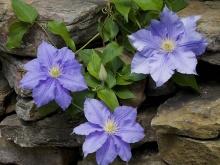 Fleur de violette ‧:﹎。‧::‧ (^∇^)