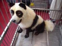 หมาแพนดี้...ไม่ใช่หมีแพนด้า....นะ ... Panda???