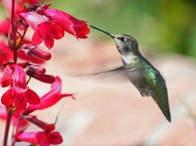 Hummingbird ‧:﹎。‧::‧ (^∇^)