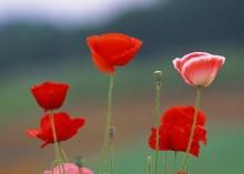ทุ่งดอก poppy  .•°•.° (o^.^o) 2