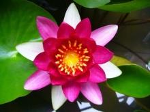 ดอกบัวหลากหลายสายพันธุ์