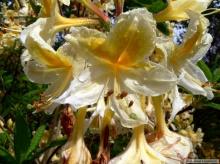 กุหลาบพันปี (Rhododendron) •°•.° ღღღ 2