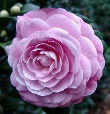 Camellia ดอกไม้สำหรับคนช่างฝัน 2