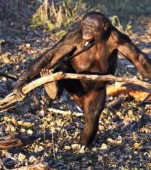 เจ้าลิงชิมเเปนซี เเสนรู้เกินไปเเล้ว ทำอาหารเองได้
