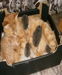 แมวเลี้ยงลูกเม่น น่ารักจริงๆ