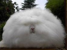 กระต่ายพันธุ์ขนปุยที่สุด