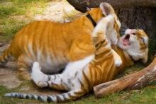 สัตว์โลกน่าทึ่ง!กับเสือแมวลายสีทอง