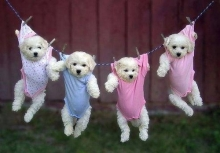 น่ารัก!ลูกสุนัขขโมยชุดเด็กใส่