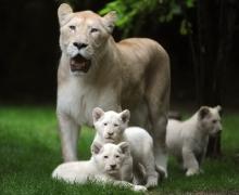 น่ารักสุดๆ ครอบครัวสิงโตขาวในวันสบายๆ ที่ฝรั่งเศส