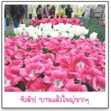 เที่ยวสวนดอกไม้คูเคนฮอฟ(2)