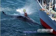 ~ ญี่ปุ่นล่าปลาวาฬ ~