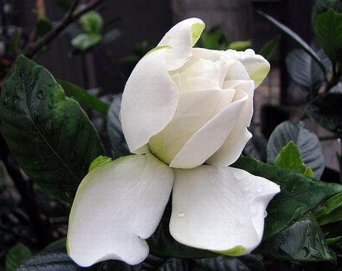 ต้นดอกอินถะหวา