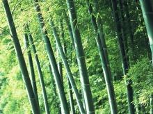ความร่มรื่นของ...ป่าไผ่