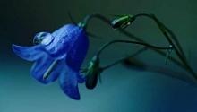 ดอกไม้สีน้ำเงินม่วง