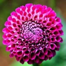 ดอกรักเร่ 2 (Dahlia)