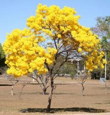 ต้นตาเบบูญา (Tabebuia)