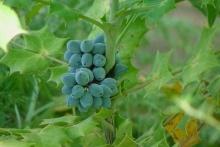 ผลบลูเบอร์รี่...Blueberries