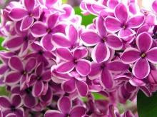 ดอกไลแลค กลิ่นหอมฟุ้ง