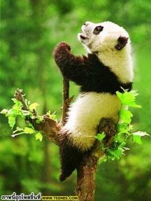 เอาใจคนรักแพนด้า : Panda น้อยจอมซน