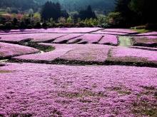 พรมดอกไม้ (Moss Phlox)