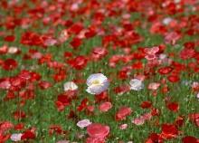 ทุ่งดอก poppy .•°•.° (o^.^o) 3