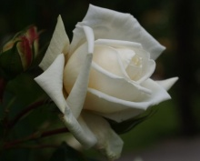 ~The beauty of White Queen~