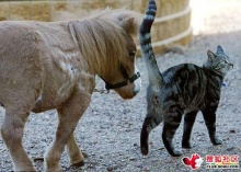 ++ ม้าแคระตัวใหญ่กว่าแมวนิดเดียว ++