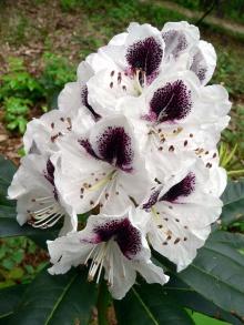 กุหลาบพันปี (Rhododendron) •°•.° ღღღ 2 ฉบับแก้ไขค่ะ