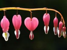 ดอกไม้กับหัวใจสีชมพู (Pink Bleeding heart)