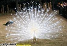 นกยูงเผือก..รำแพน สวยมาก ๆ